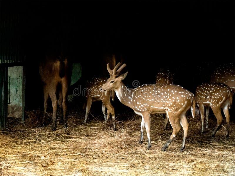 Cervi/Chital-India macchiati fotografia stock libera da diritti