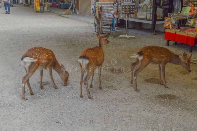 Cervi del bambino a Nara Japan fotografia stock libera da diritti