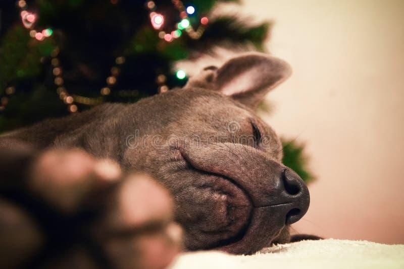 Cervi del cane di Natale che liying e che dormono fotografia stock libera da diritti