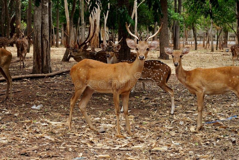 Cervi del maiale o condizione di porcinus di asse sotto l'albero nel fondo dello zoo fotografia stock libera da diritti