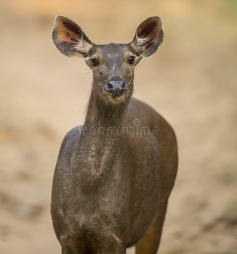 Cervi del Sambar fotografia stock libera da diritti