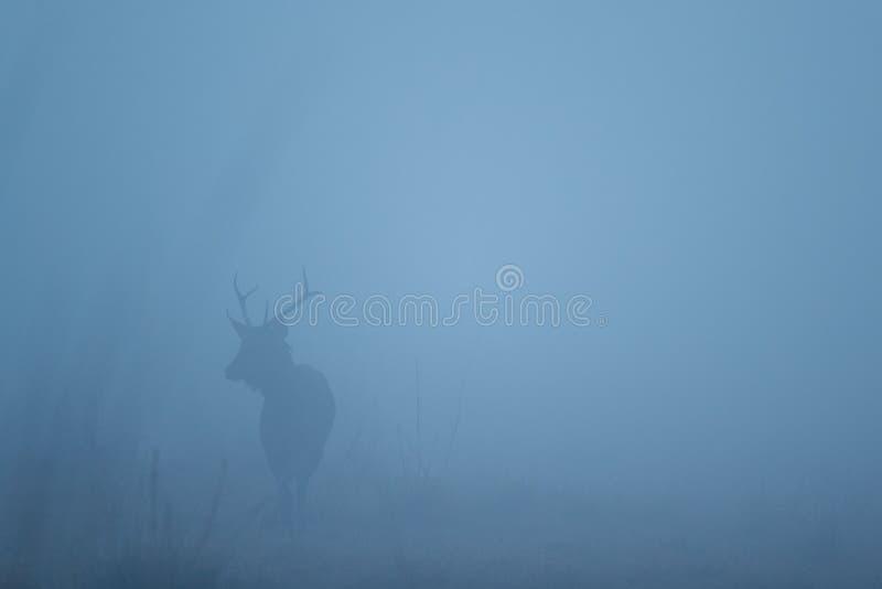 Cervi del Sambar nell'habitat della natura nel corso della mattinata nebbiosa fotografia stock libera da diritti