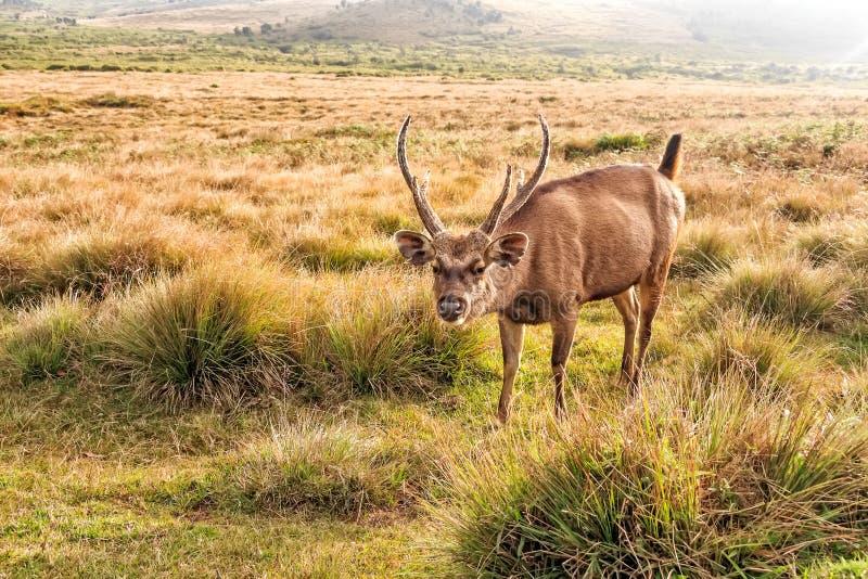 Cervi del Sambar in selvaggio immagine stock libera da diritti