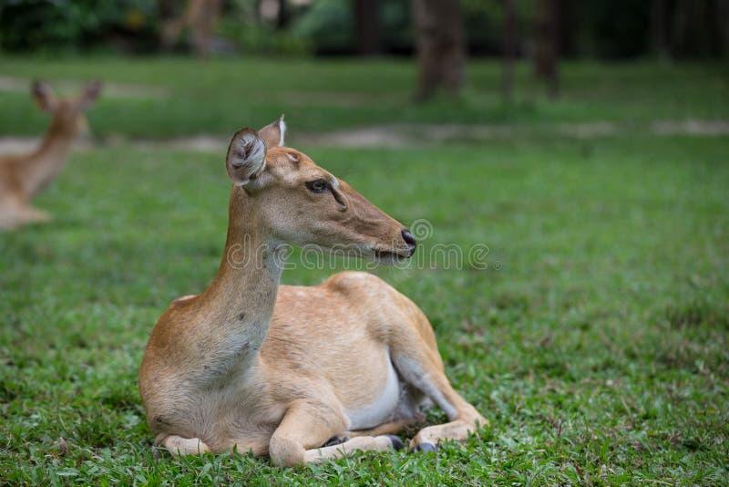 Cervi dell'antilope che si siedono sull'erba immagini stock