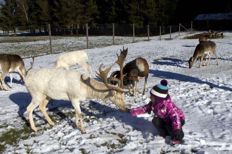 Cervi di alimentazione dei bambini nell'inverno fotografia stock libera da diritti