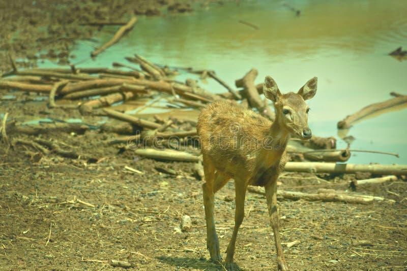 Cervi di Bambi fotografie stock