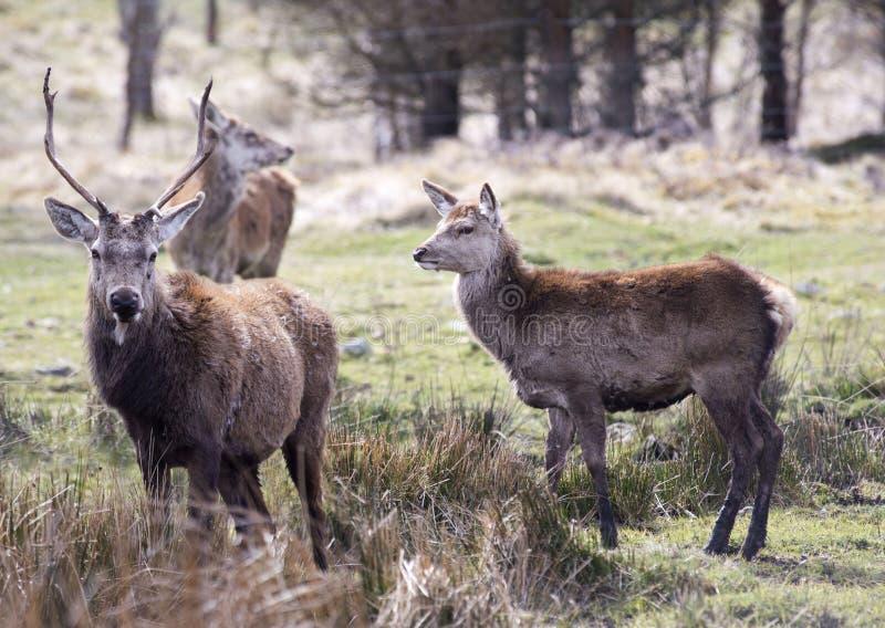 Cervi di Buchara al parco della fauna selvatica dell'altopiano, Scozia fotografie stock
