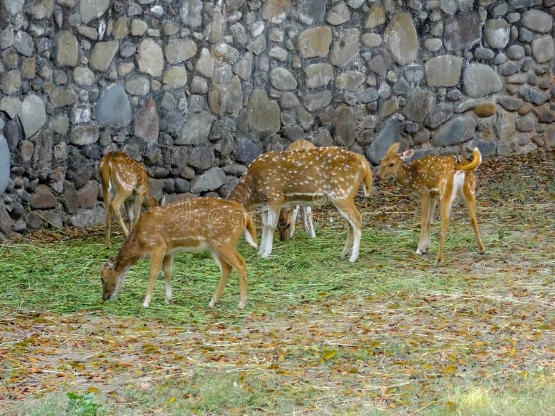 Cervi di Chital, Cheetal, il cervo macchiato, cervi di asse - pasci fotografie stock