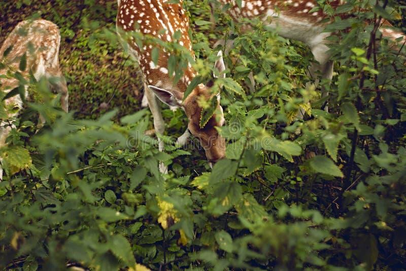 Cervi di maggesi nella foresta di estate immagini stock libere da diritti