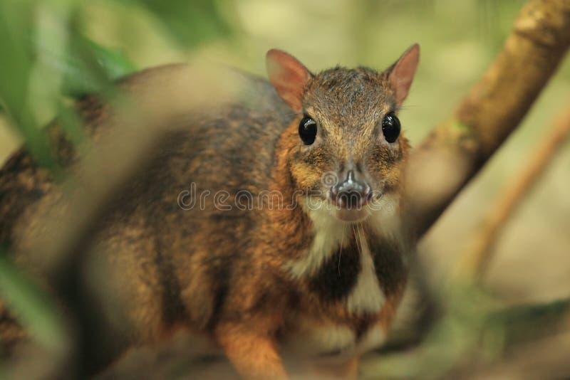 Cervi di mouse del Java fotografia stock libera da diritti