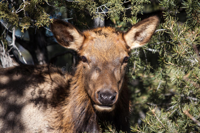 Cervi di mulo al Grand Canyon fotografie stock