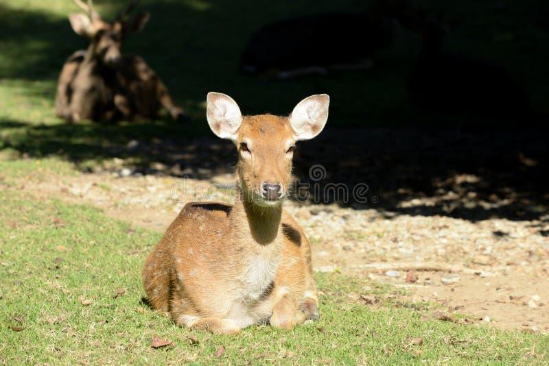 Cervi di Sika immagini stock libere da diritti