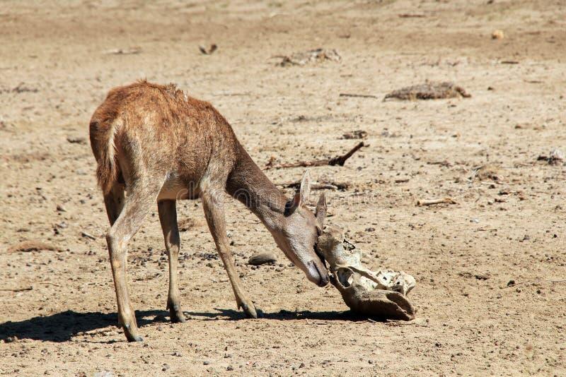 Cervi di Timor fotografia stock