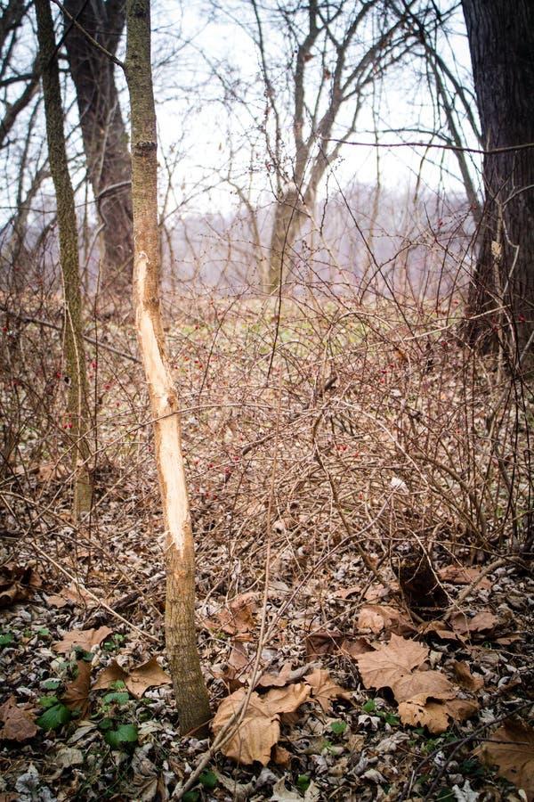 Cervi di Whitetail Buck Rub sull'albero immagine stock