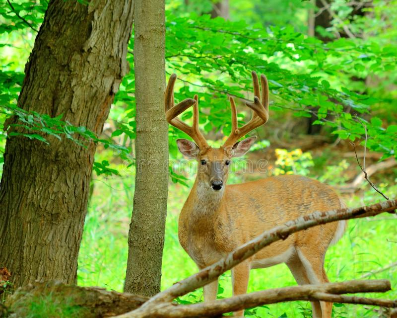 Cervi di Whitetail Buck In Velvet fotografia stock libera da diritti