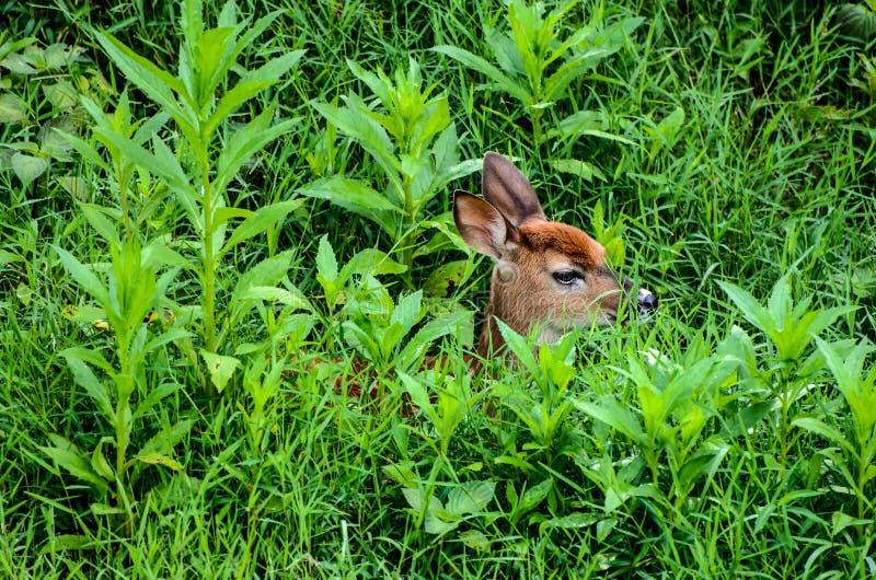 Cervi di Whitetail Fawn Hiding in erba alta (scenetta) immagine stock