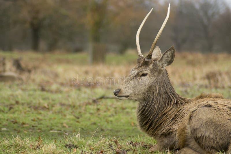 Cervi e maschi in parco folto fotografia stock libera da diritti