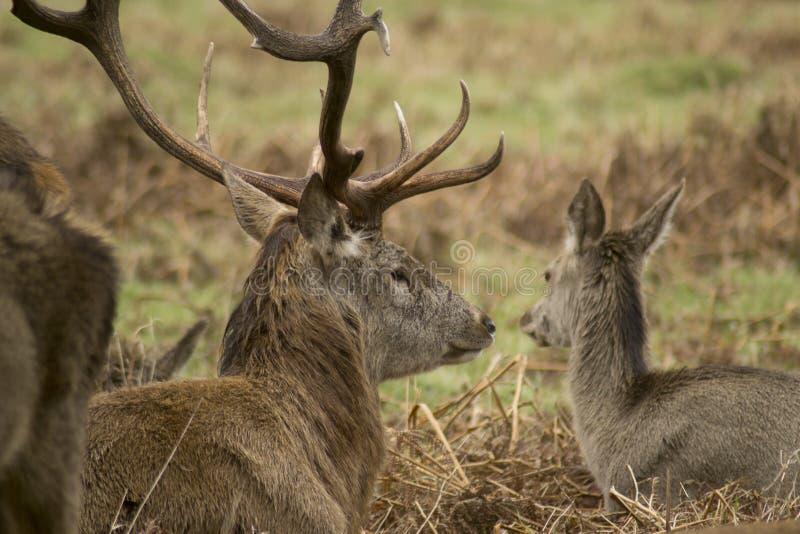 Cervi e maschi in parco folto fotografia stock