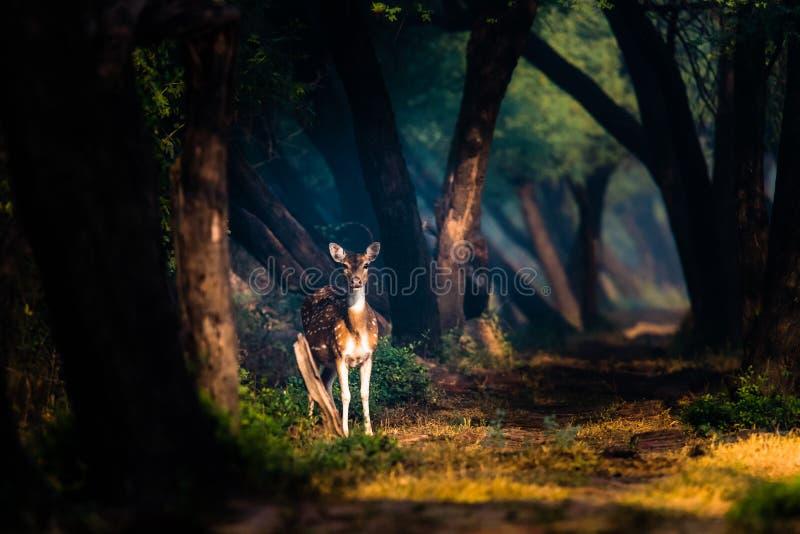 Cervi macchiati alle luci mistiche a Bharatpur fotografia stock