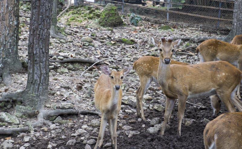 Cervi maschii e femminili nello zoo immagini stock