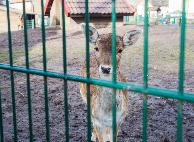 Cervi in mini zoo, zoo, cervo chiuso a chiave in una gabbia fotografia stock