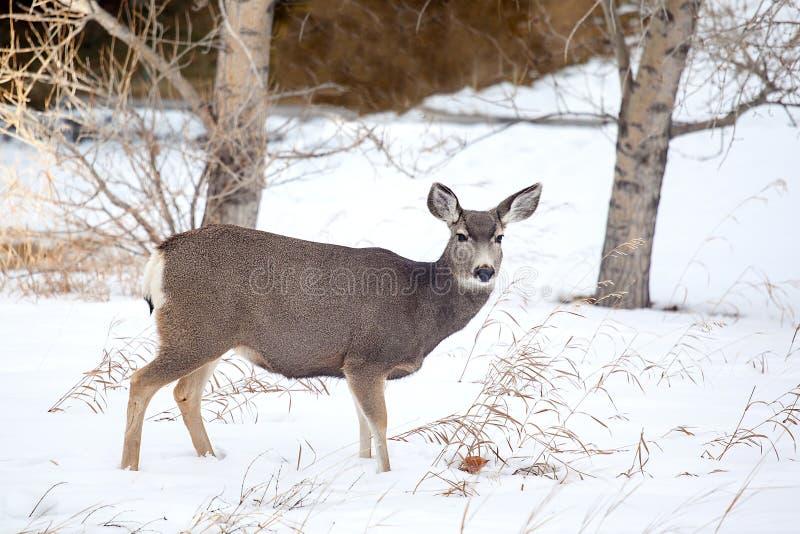 Cervi muli canadesi nella neve fotografia stock