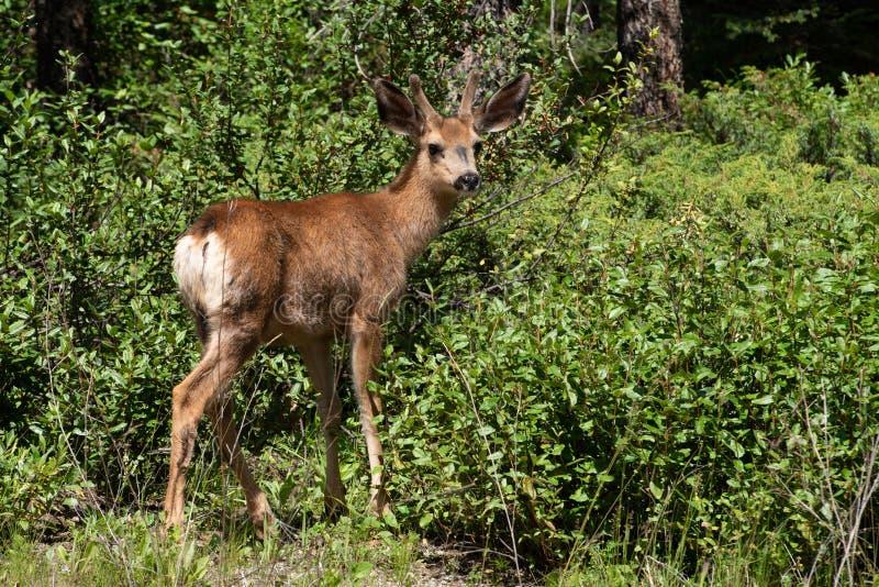 Cervi muli canadesi selvaggi immagini stock libere da diritti
