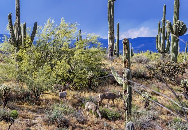 Cervi muli che si alimentano nel deserto pacifico di Sonoran fotografia stock libera da diritti