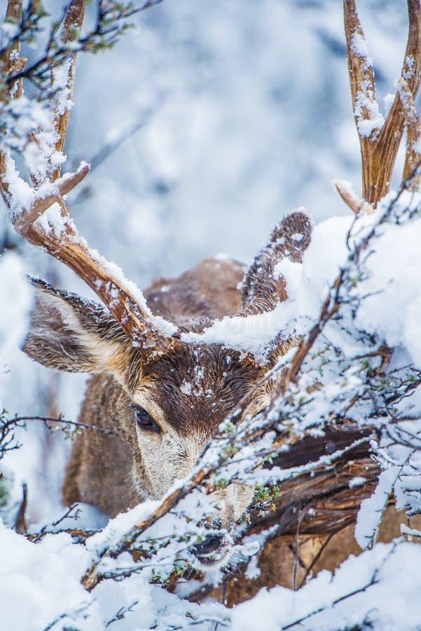 Cervi muli di inverno dell'Arizona fotografia stock