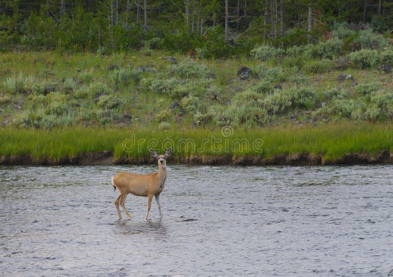 Download Cervi Muli Femminili In Fiume Fotografia Stock - Immagine di wildlife, indigeno: 30825852
