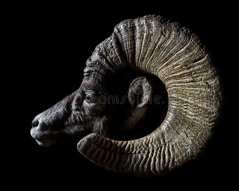 Cervi muli in ritratto del velluto scuro immagine stock libera da diritti