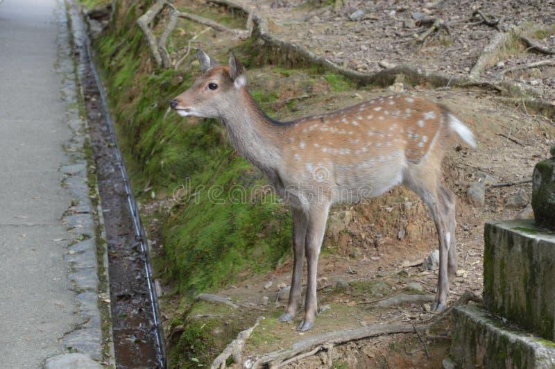 Cervi a Nara Park Japan immagine stock