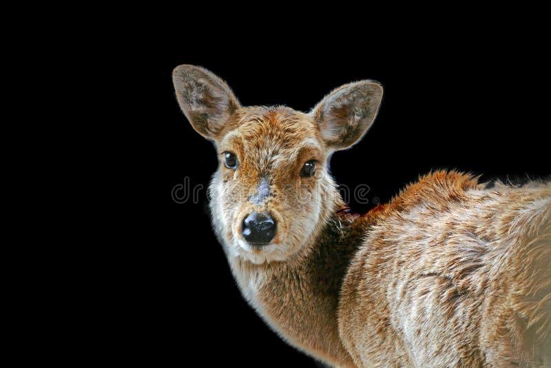 Cervi a Nara Park nel Giappone su fondo nero immagine stock libera da diritti