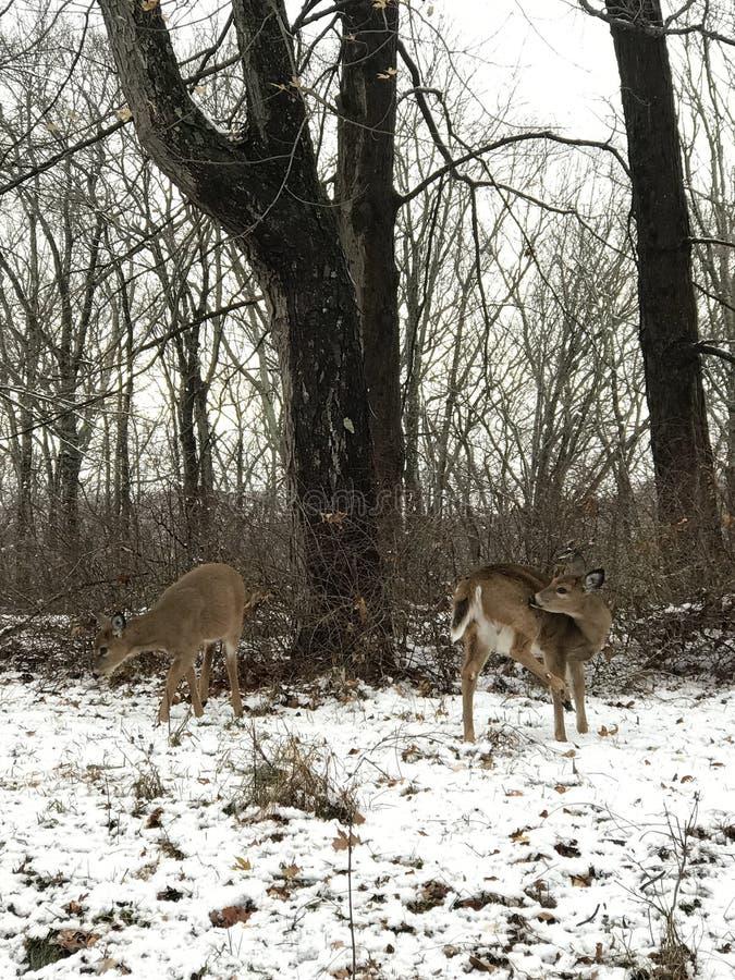 Cervi nel giorno della neve fotografia stock