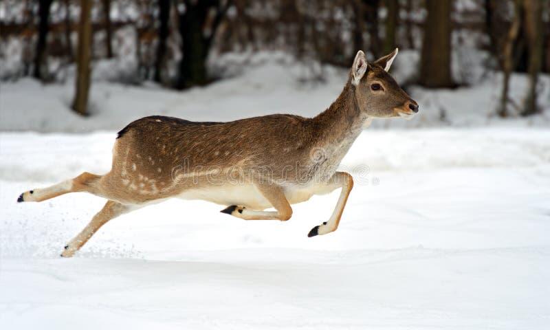 Cervi nell'inverno fotografie stock libere da diritti