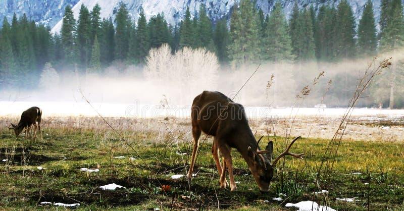 Cervi nell'orario invernale immagini stock