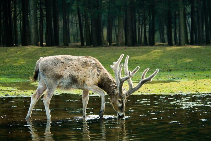 Cervi nella foresta immagine stock libera da diritti