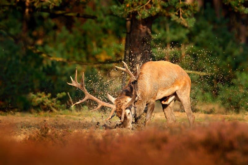 Cervi nobili, calore, bagno d'acqua dell'argilla del fango Il maschio dei cervi, muggisce l'animale adulto potente maestoso fuori immagine stock