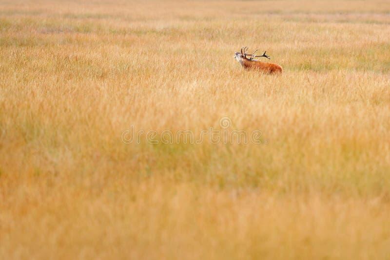 Cervi nobili, calore in Hoge Veluwe, Paesi Bassi Il maschio dei cervi, muggisce l'animale adulto potente maestoso fuori di legno, fotografia stock