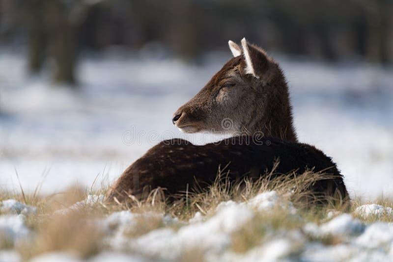 Cervi nobili femminili che si trovano nell'erba nevosa immagini stock