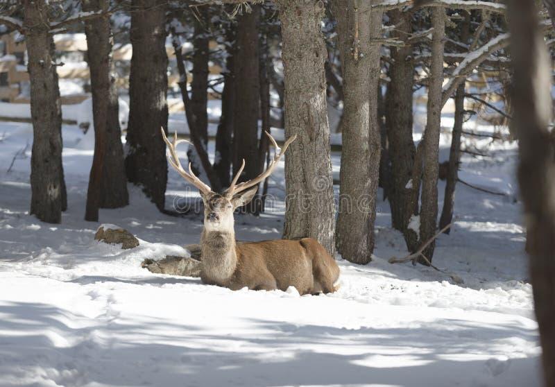 Cervi nobili nella foresta di inverno fotografia stock