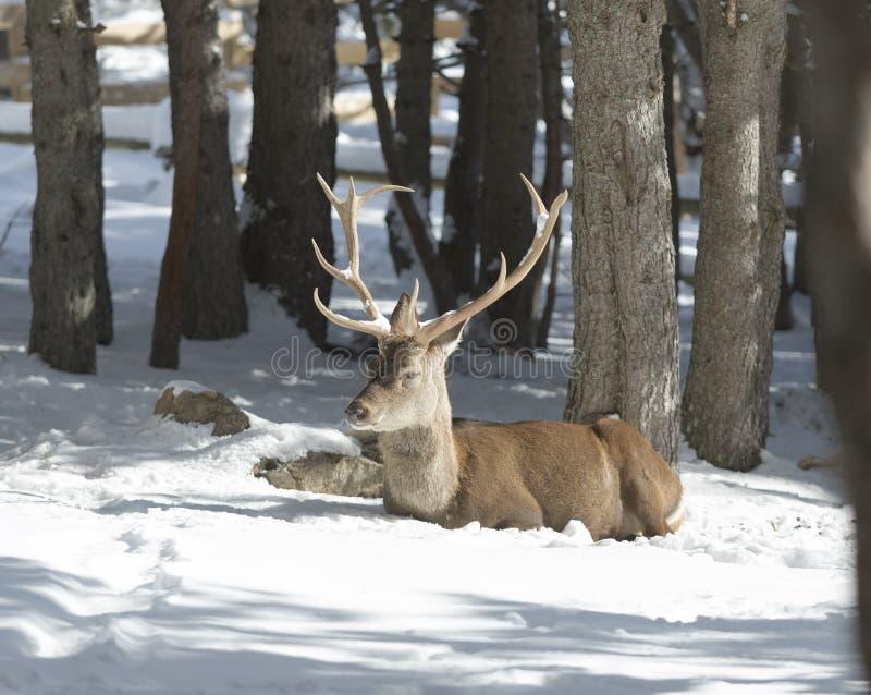 Cervi nobili nella foresta di inverno fotografia stock libera da diritti