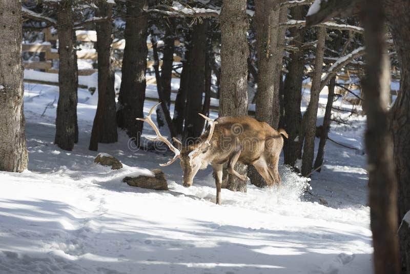 Cervi nobili nella foresta di inverno fotografie stock libere da diritti