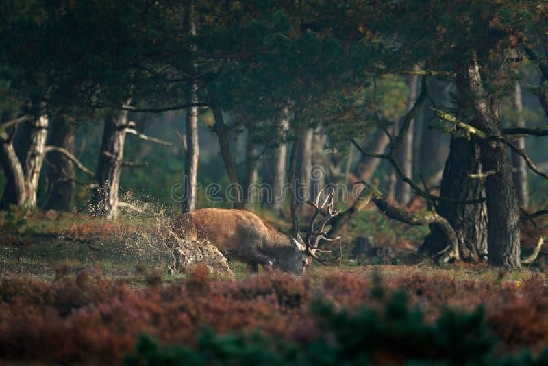 Cervi nobili nello stagno, calore, Hoge Veluwe, Paesi Bassi Il maschio dei cervi, muggisce l'animale adulto potente maestoso fuor immagini stock