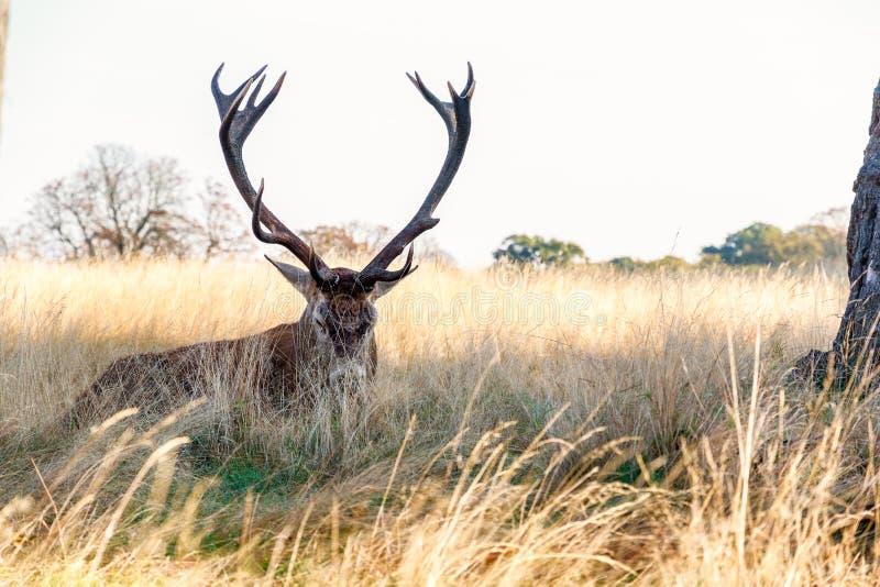 Cervi nobili in Richmond Park immagini stock