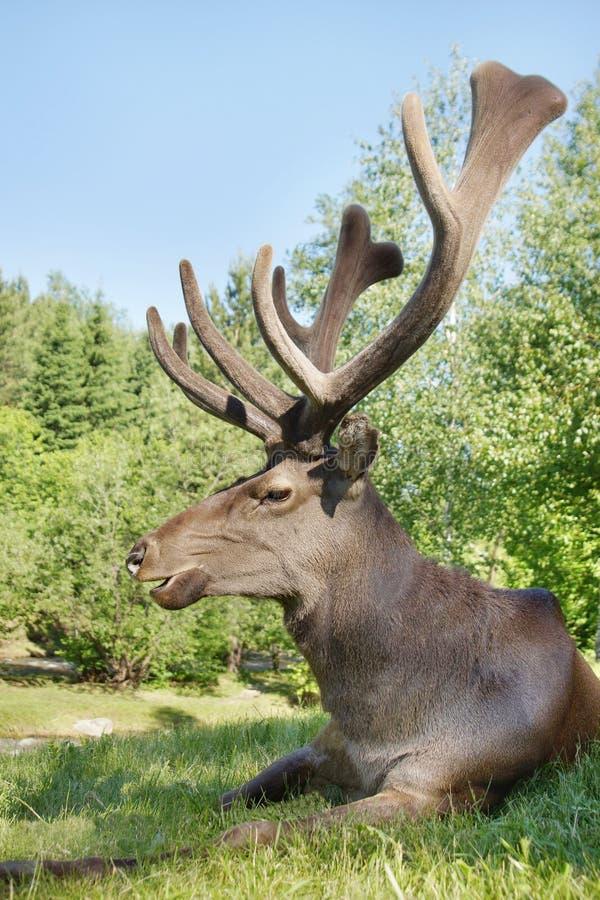 Cervi nobili selvaggi che si trovano sull'erba verde immagini stock libere da diritti