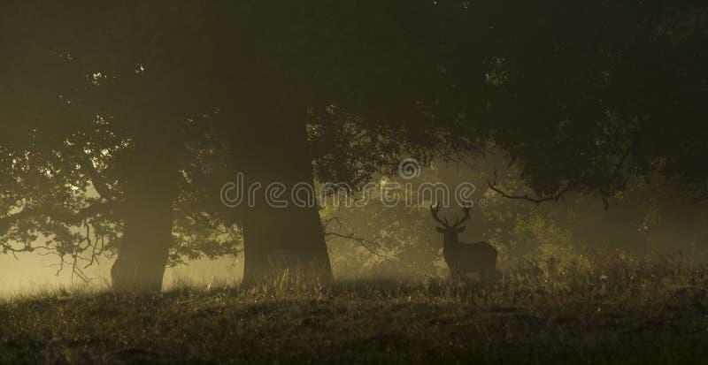 Cervi nobili in una mattina nebbiosa immagine stock libera da diritti