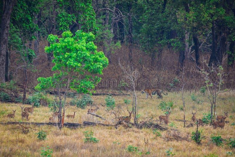 cervi o branco di cervi macchiati di asse che guarda una tigre di Bengala che è su movimento in un campo di kanha fotografie stock libere da diritti