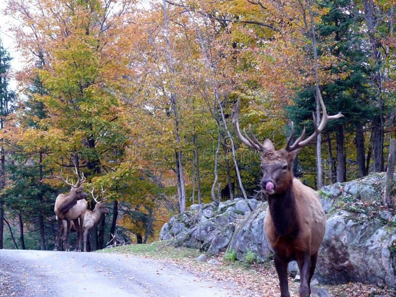 Cervi in Quebec Il Canada, America settentrionale fotografie stock libere da diritti
