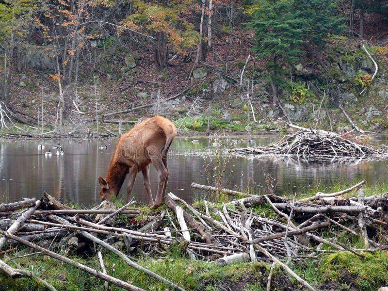 Cervi in Quebec Il Canada, America settentrionale immagine stock
